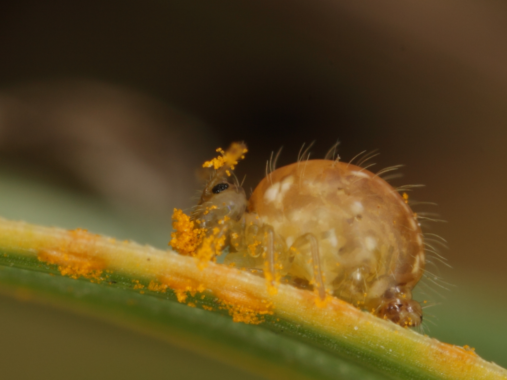 https://upload.wikimedia.org/wikipedia/commons/e/e5/Kugelspringer_%28Collembola-_Sminthuridae%29_fri%C3%9Ft_Pollen_-_Globular_Springtail_feeds_on_pollen_%289683050826%29.jpg