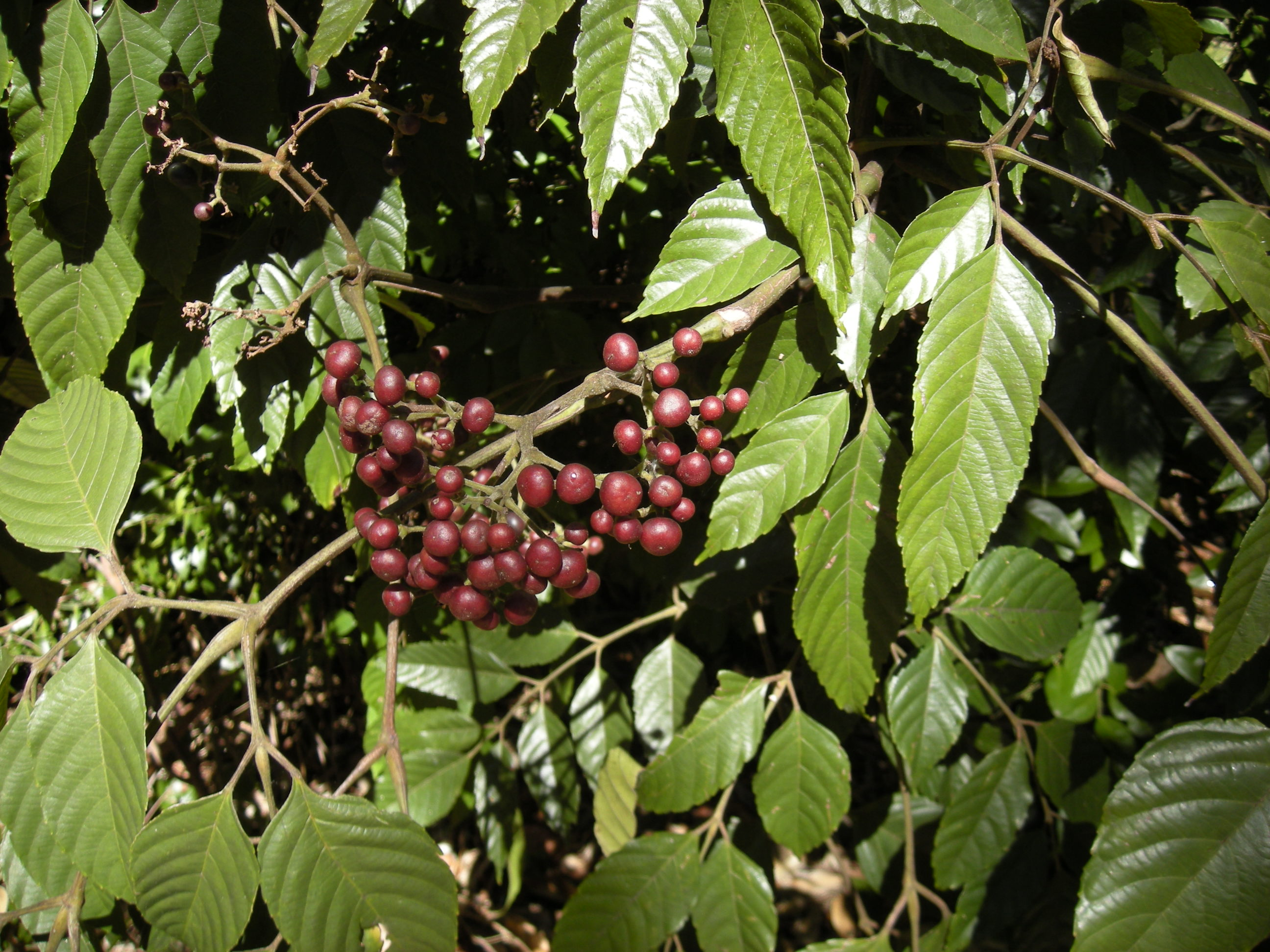 File leea indica fruit and wikimedia commons for Plantas afrodisiacas