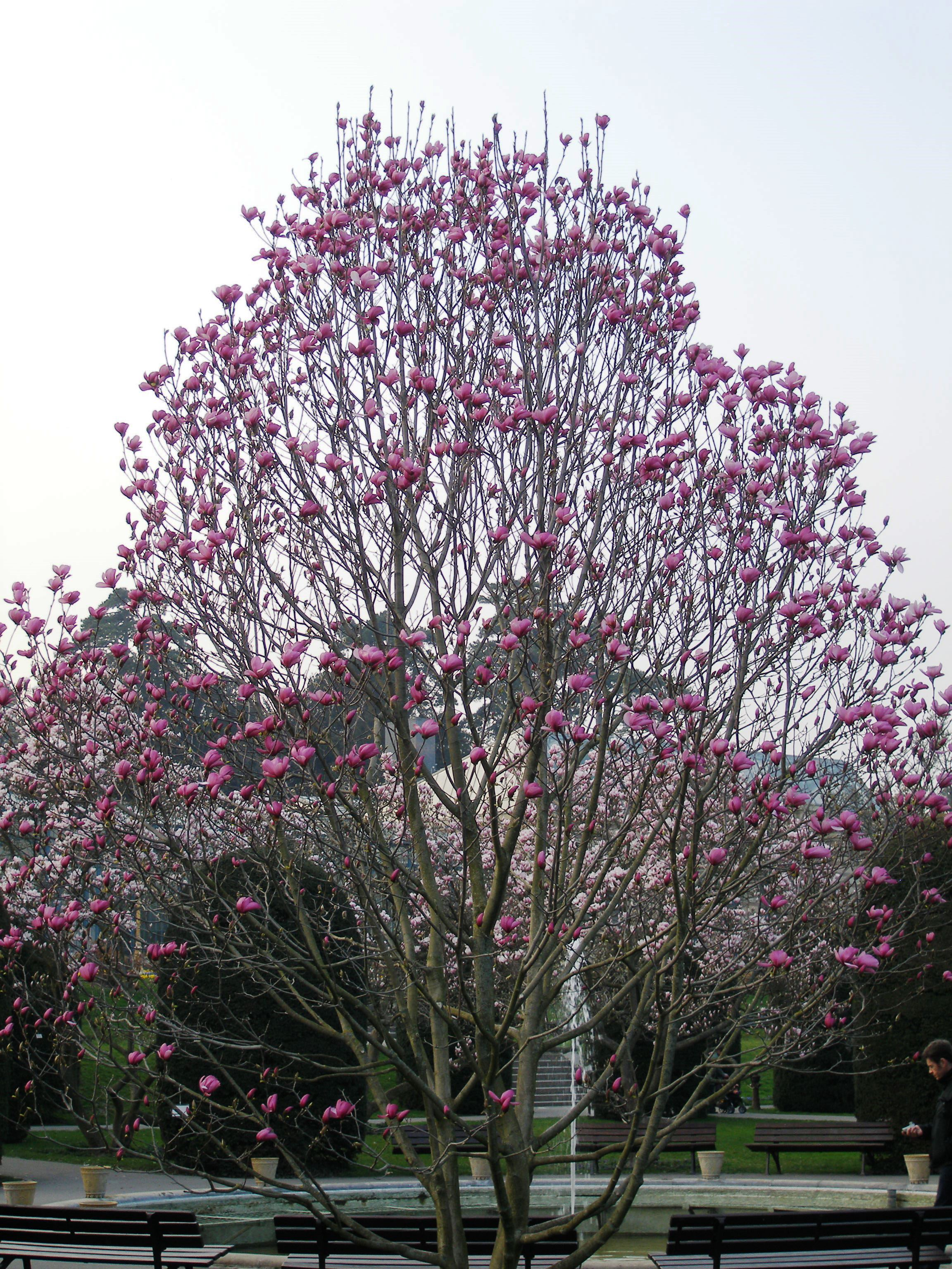 magnolia soulangeana the image kid has it. Black Bedroom Furniture Sets. Home Design Ideas