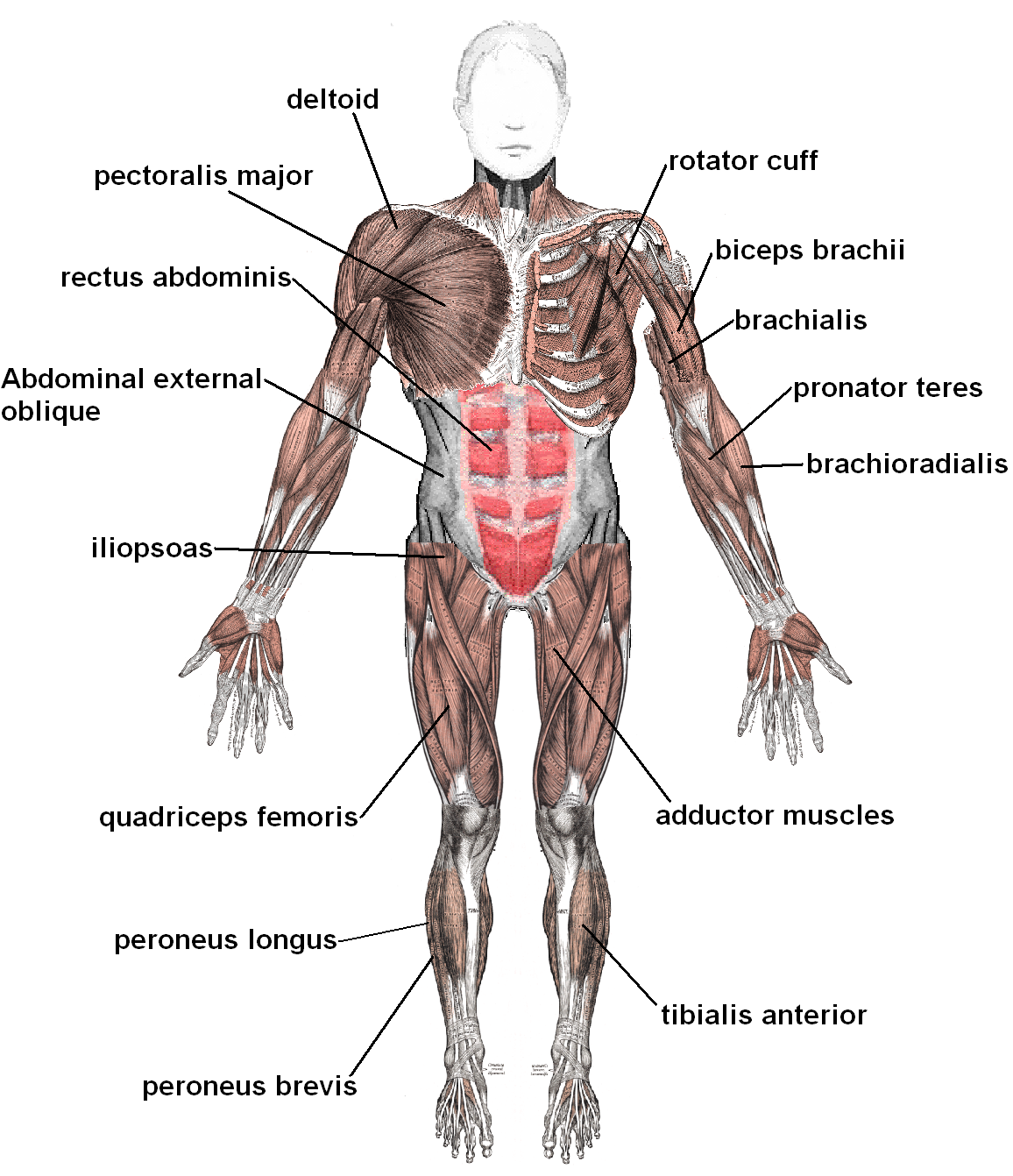 Muscle And Nerve Diagram Of The Human Body 30