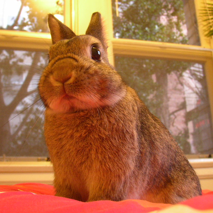 A Netherland dwarf rabbit called Chibi.