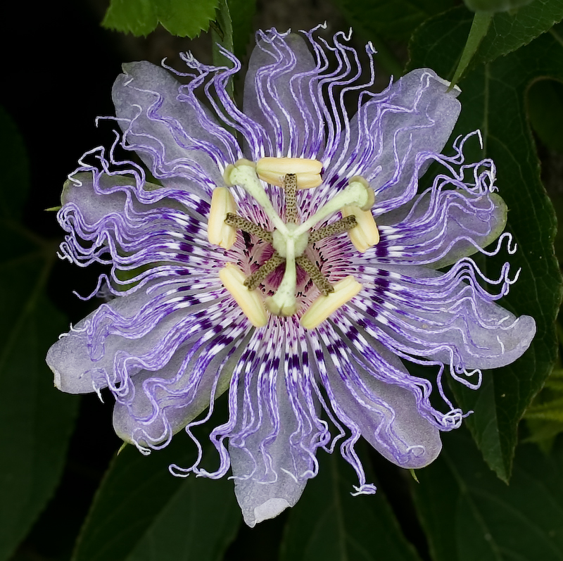 Passiflora, known as Passionflower or Passionfruit - Jungle Garden