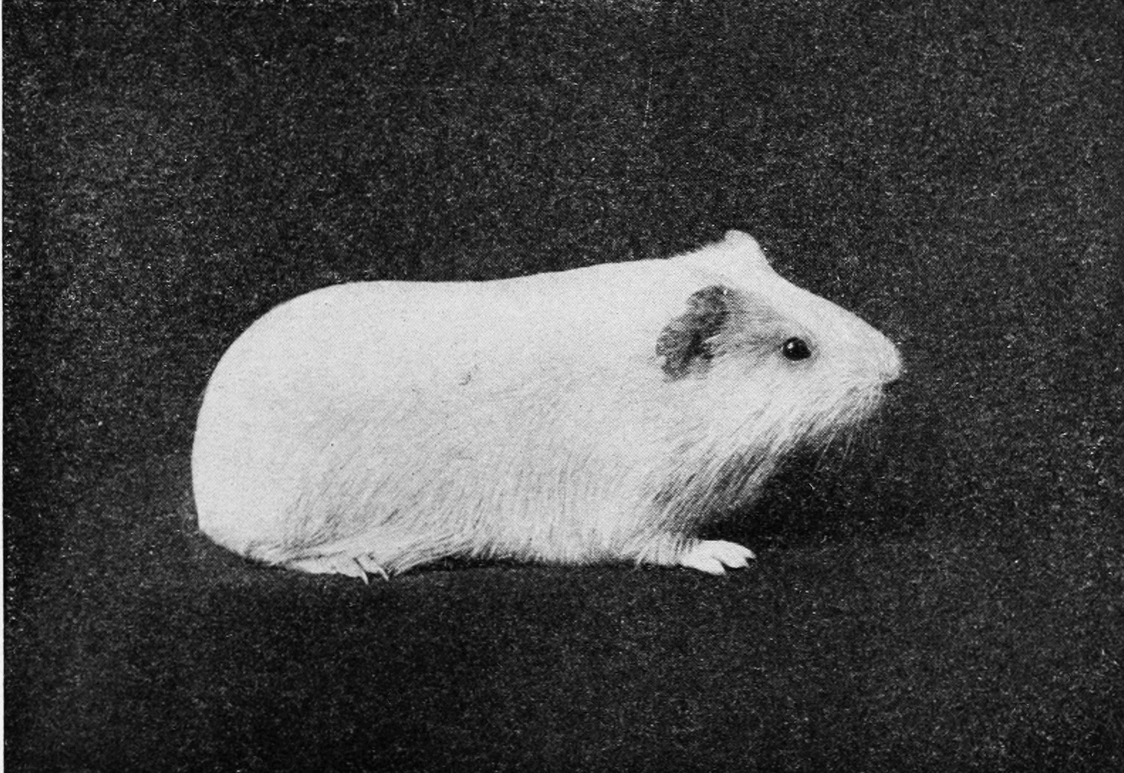 PSM V76 D431 White smooth haired guinea pig.png