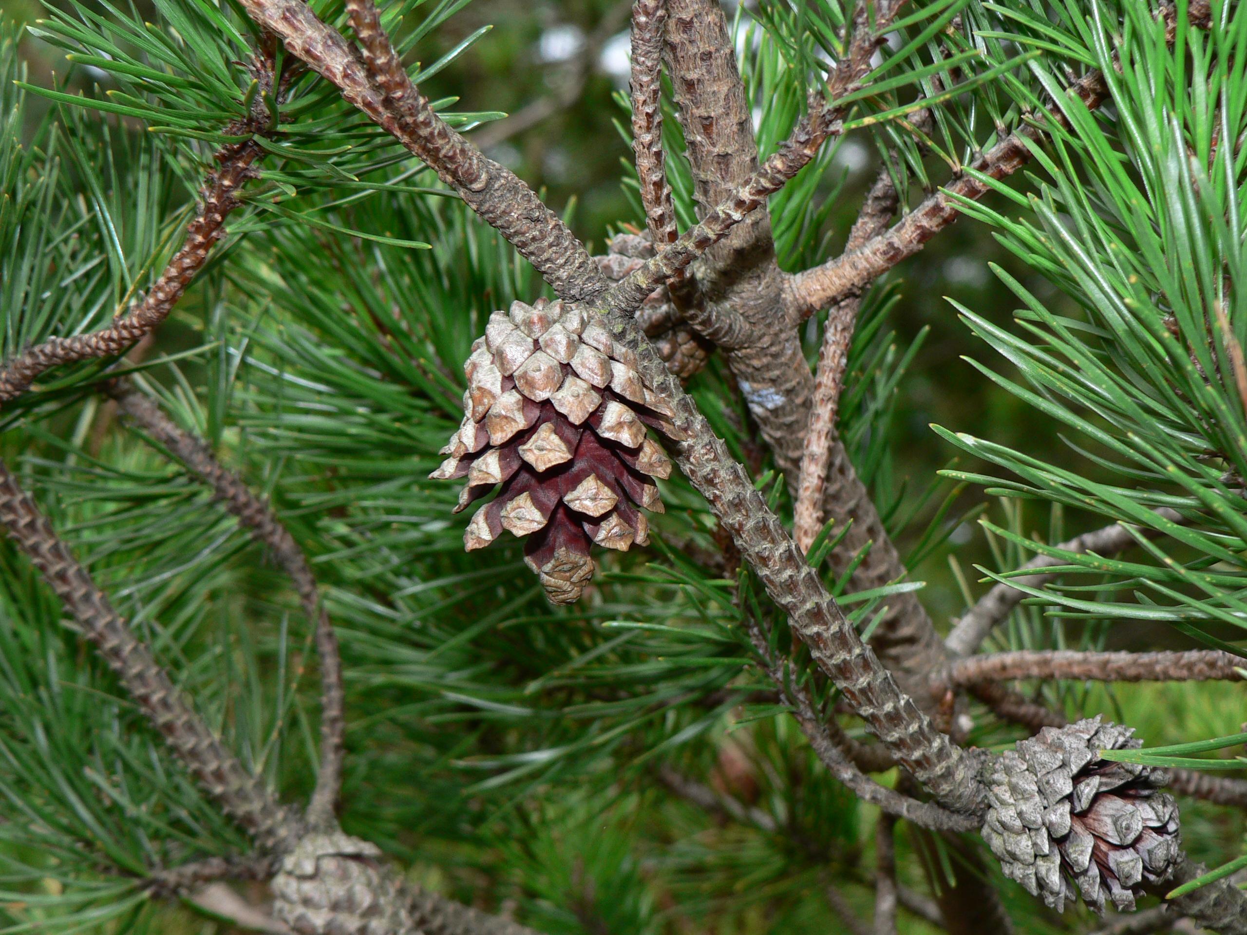 File pinus contorta 28290 jpg wikimedia commons for Arboles de jardin de hoja caduca
