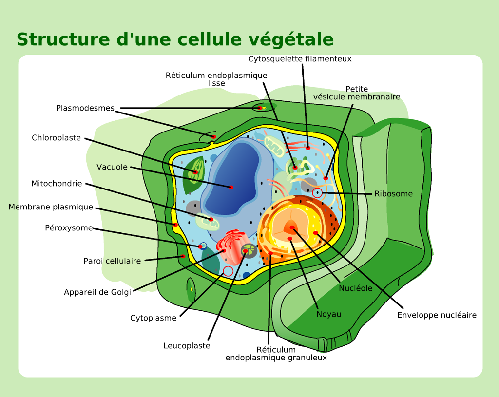 File Plant cell structure fr Wikimedia mons