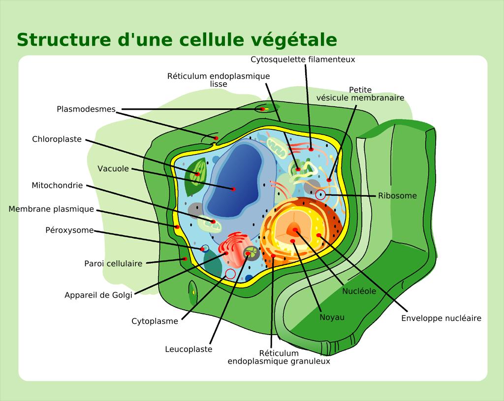 Description plant cell structure-fr
