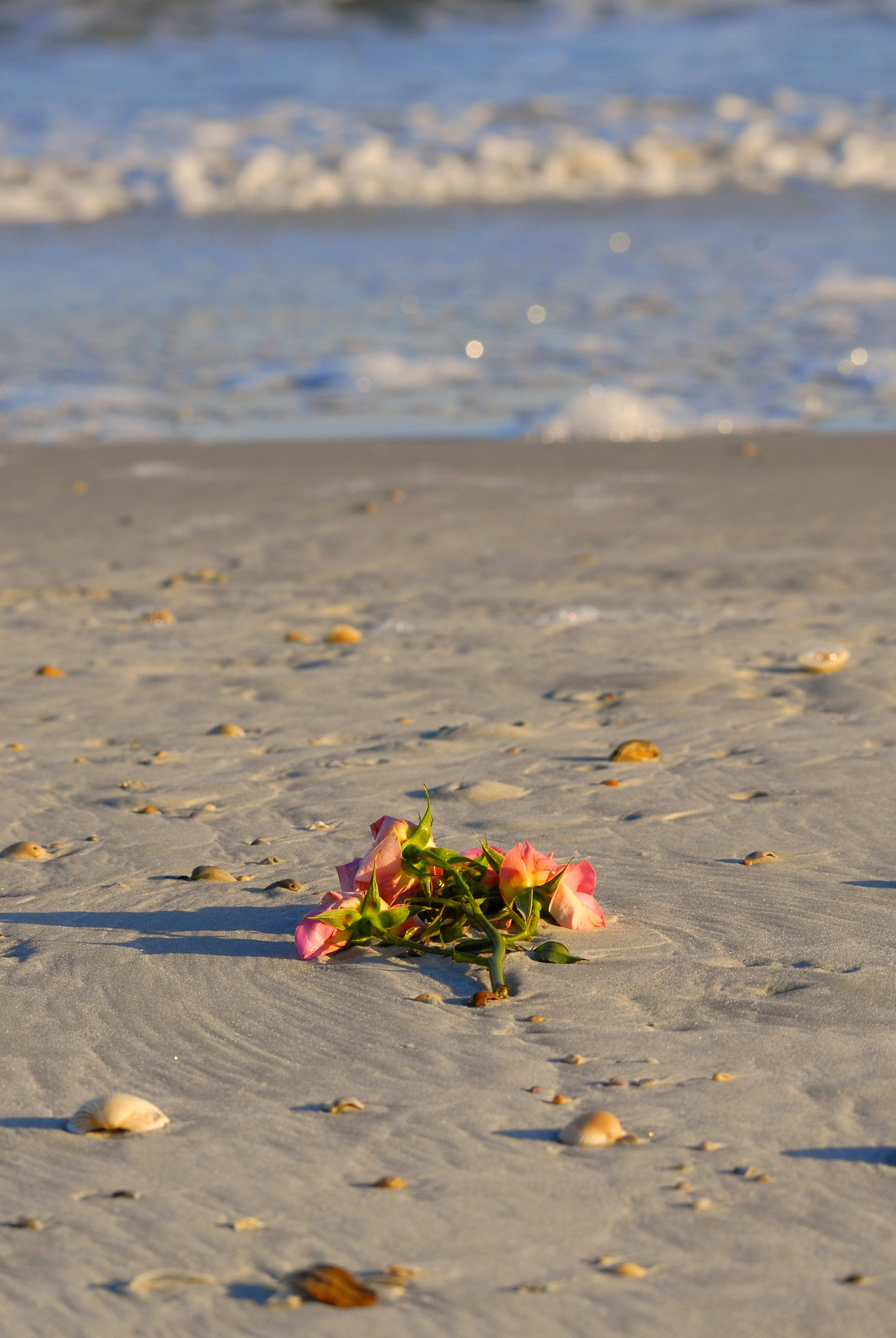 File Roses Washed Up On The Beach On Valentine S Day Flickr