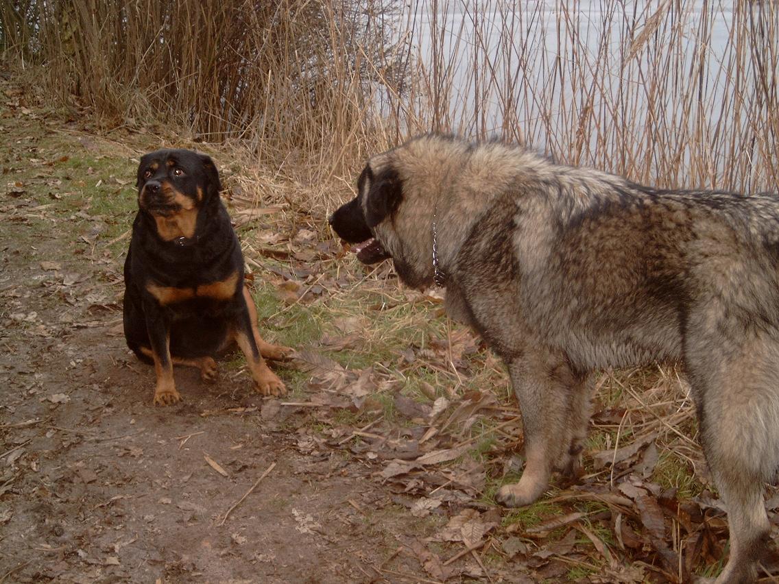 Filerottweiler And Ilyrian Shepherdjpg Wikimedia Commons