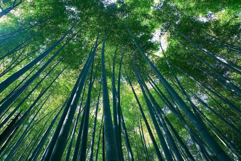 File sagano bamboo forest arashiyama kyoto ver for Bamboe plant