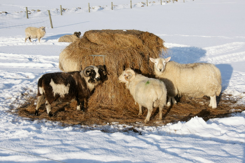 Sheep feeding on silage in the snow, Baltasound - geograph.org.uk - 1725708.jpg