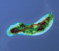 Magnetic Microbe