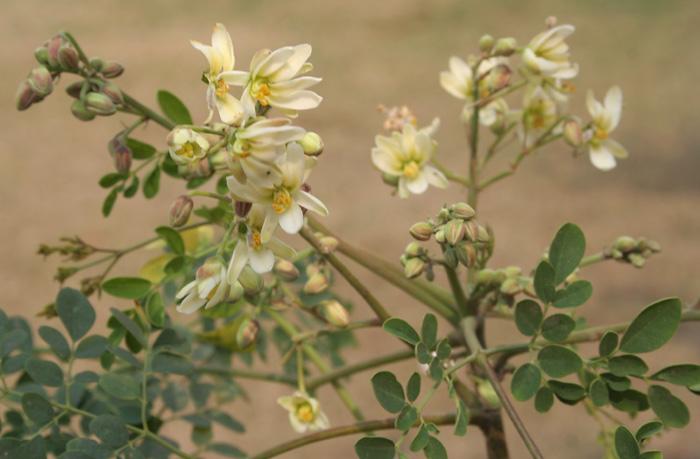 File:Sonjna (Moringa oleifera) flowers at Kolkata W IMG 2124.jpg
