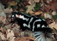 Skunks plamisty