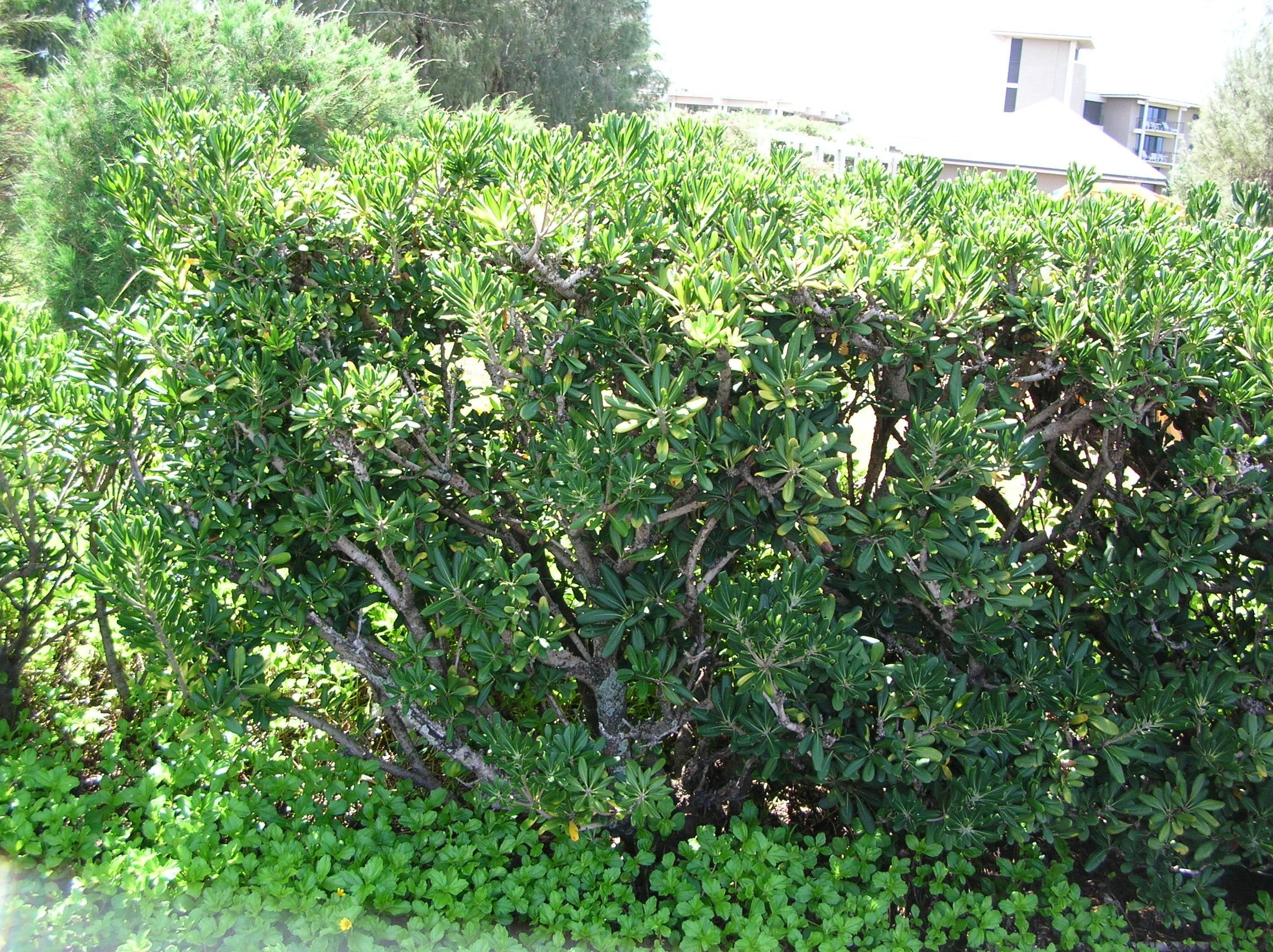 File starr 041028 0228 pittosporum wikimedia commons - Pittosporum tenuifolium variegatum taille ...