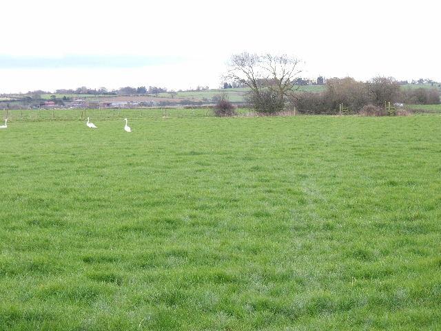 Swans near Morley Hall - geograph.org.uk - 698713