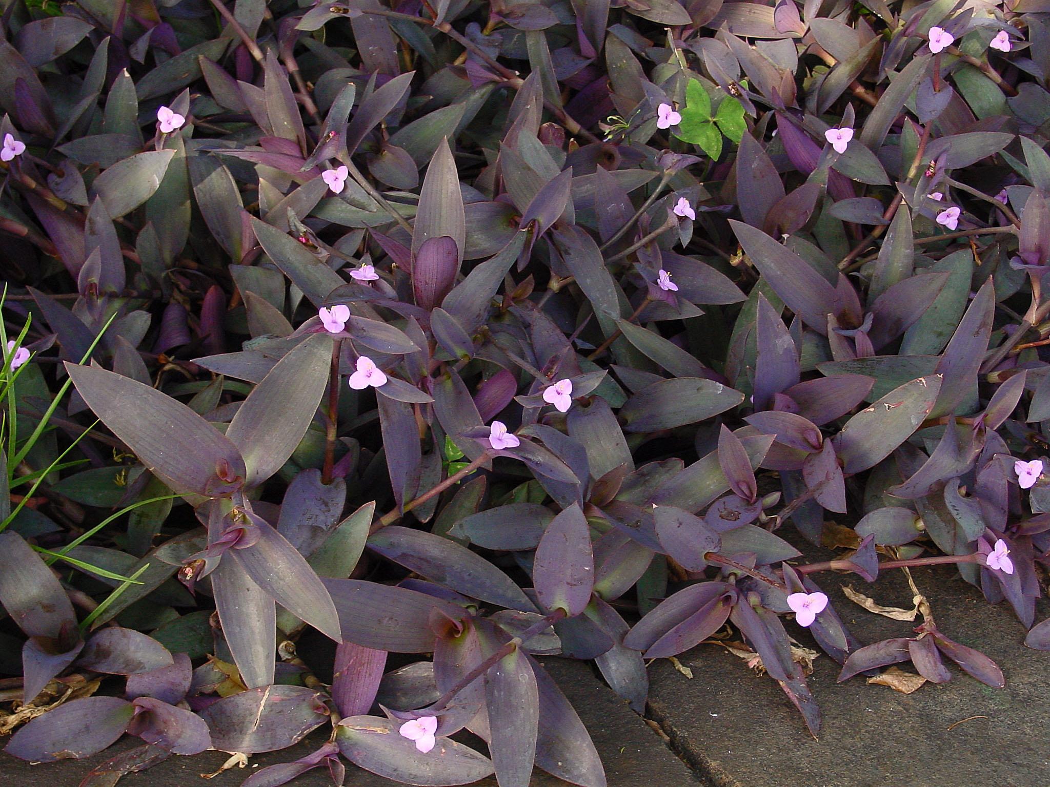 Tradescantia Pallida Wandering Jew Flowers Pinterest