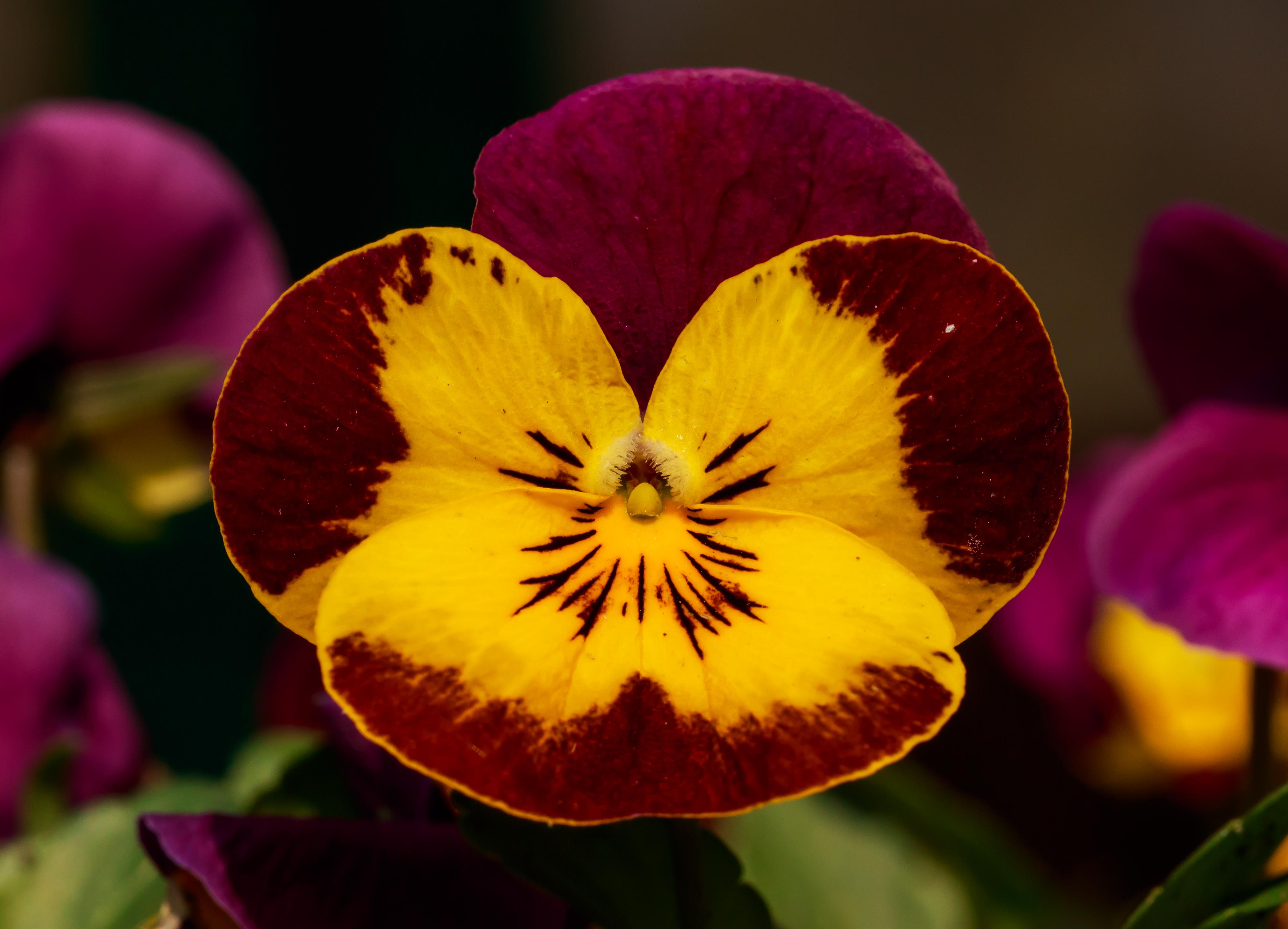 Fichier viooltje viola cornuta locatie tuinreservaat for Viola cornuta inverno