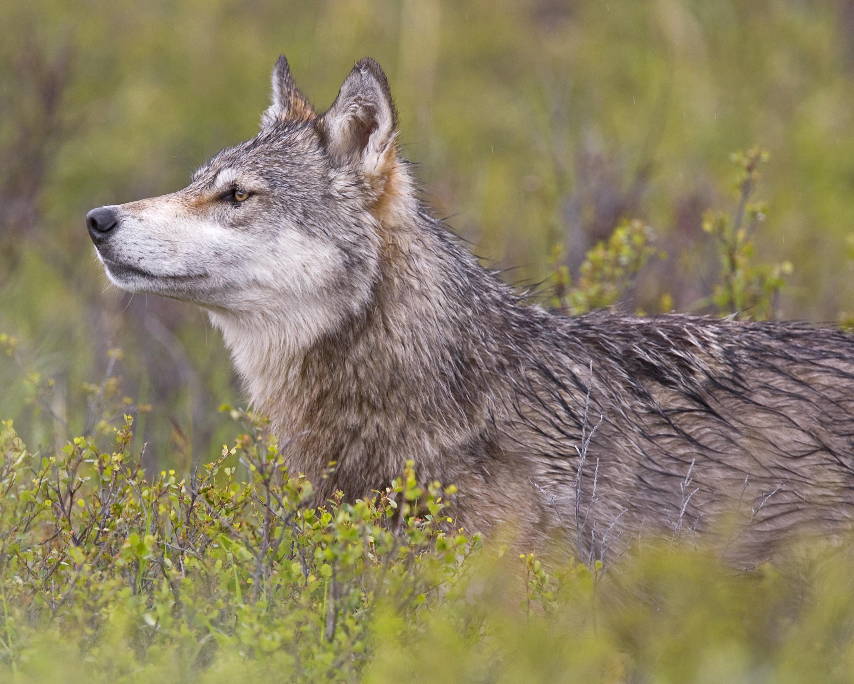 File Wolf Profile 5300989495 Jpg Wikimedia Commons