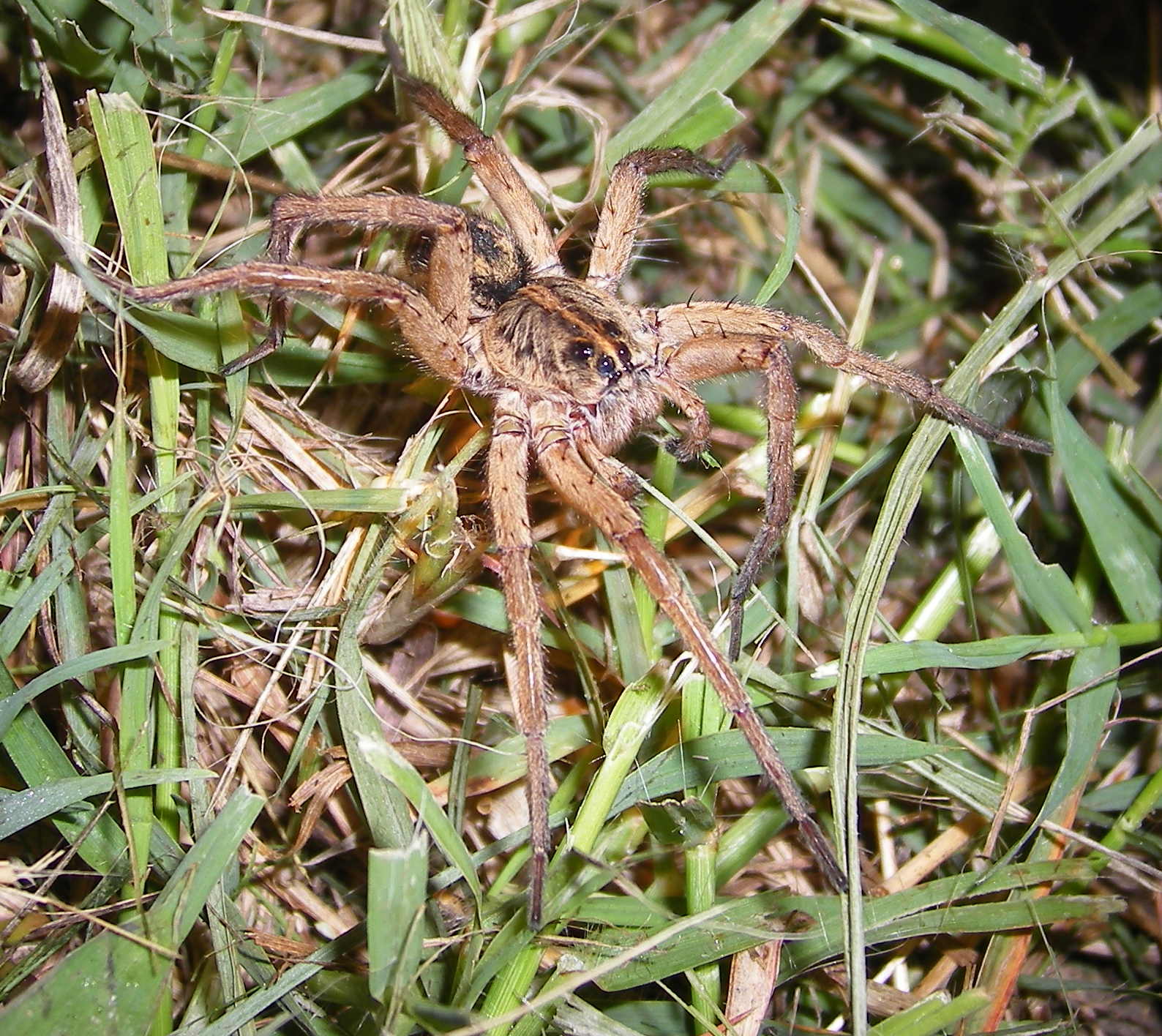 Wolf spider a pictures of