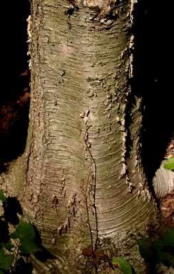Description de l'image  Image:Yellow birch trunk.jpg .