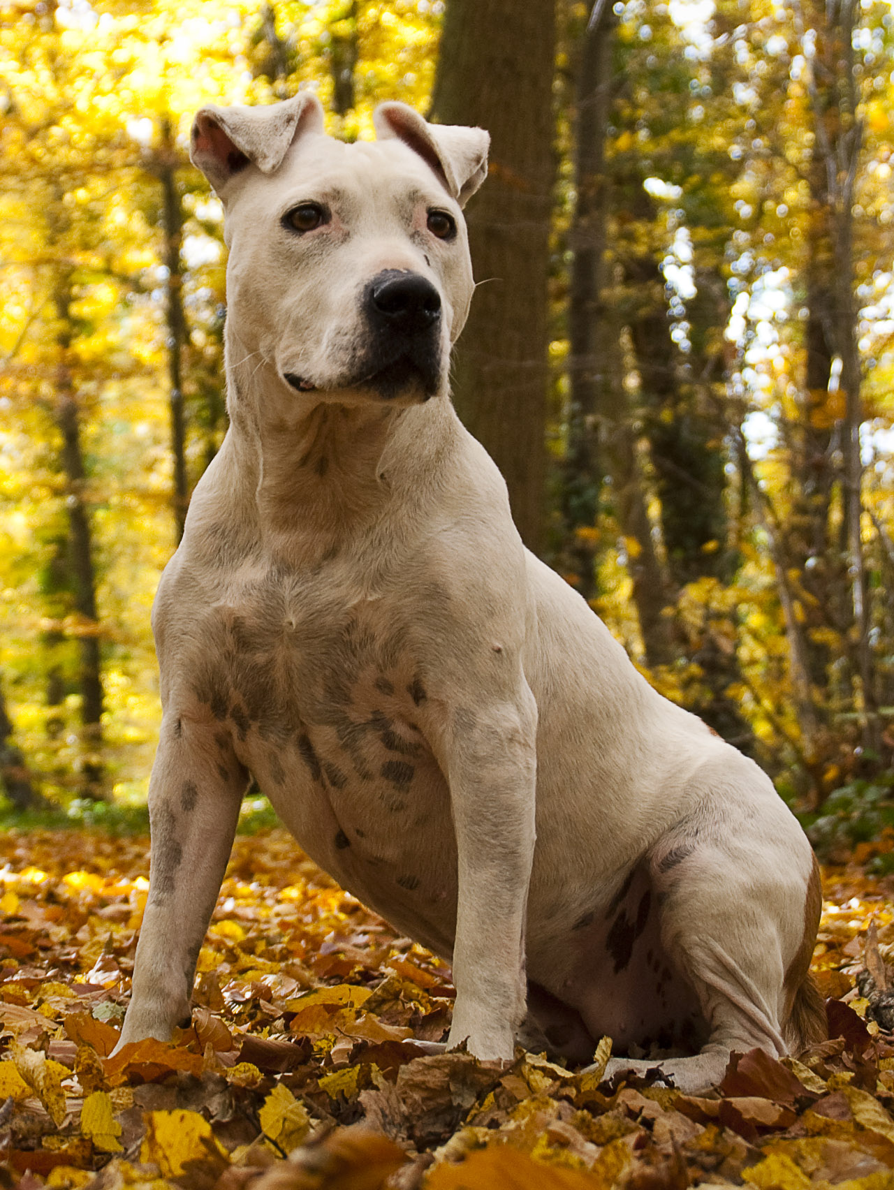 All Pit Bull Dogs Should Be Eutnanized Dangerous Breed