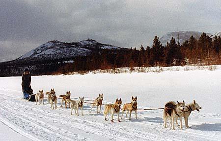 ten Seppala Siberian Sleddogs pulling sled