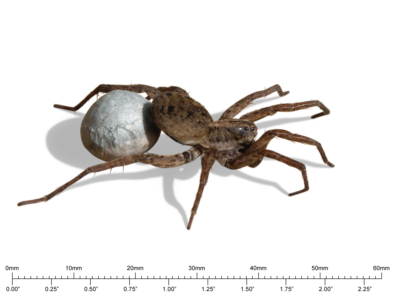 hobo spider size