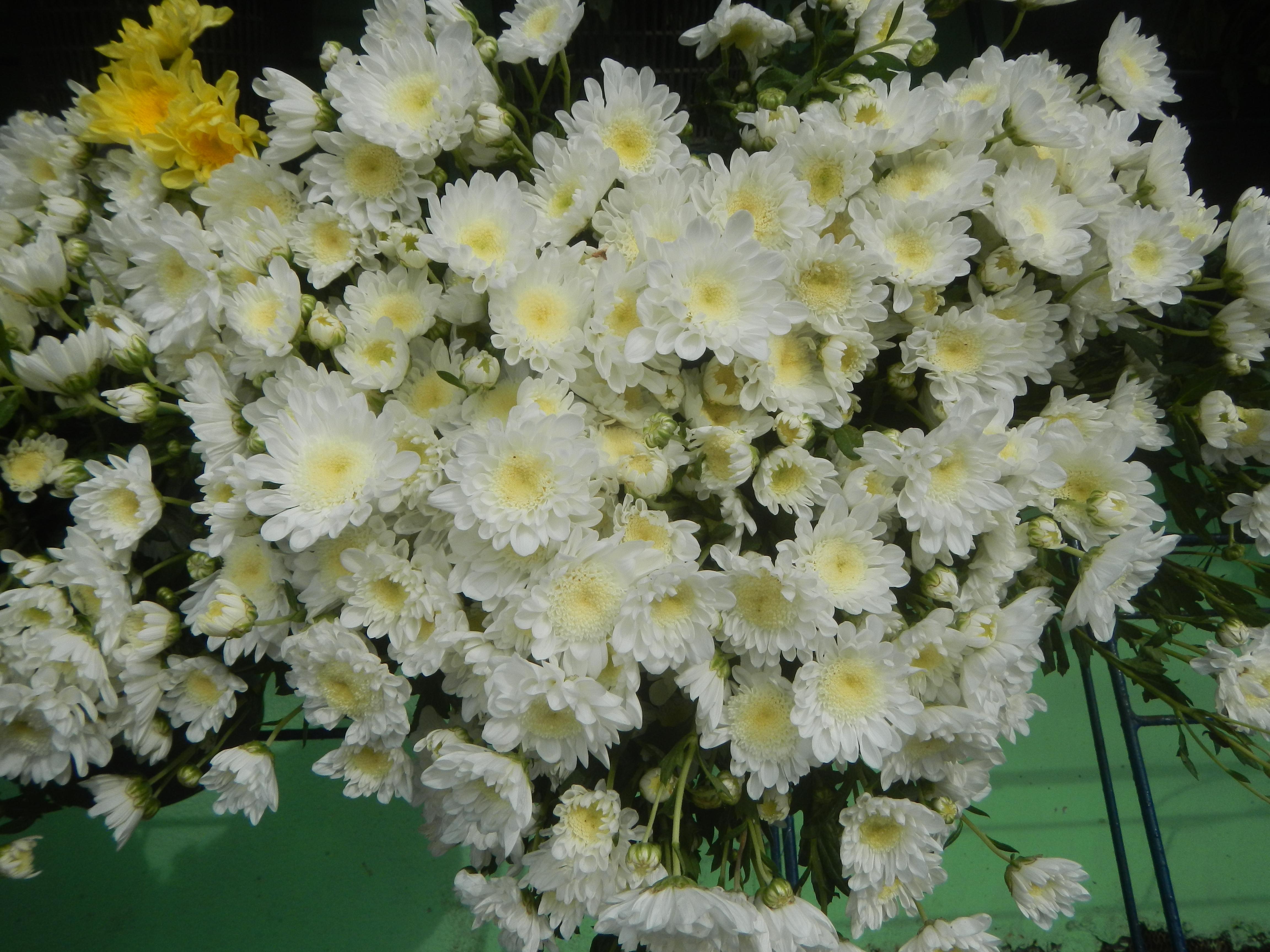 File408radus White Chrysanthemums 14g Wikimedia Commons