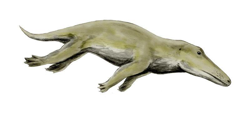 Ambulocetus ('Den gående valen') är en trolig ''felande länk'' mellan valar och dess landlevande förfäder.