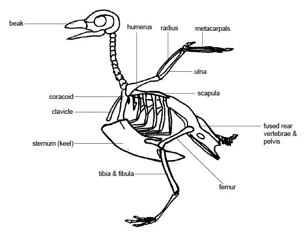 anatomy and physiology of animals/the skeleton - wikibooks, open, Skeleton