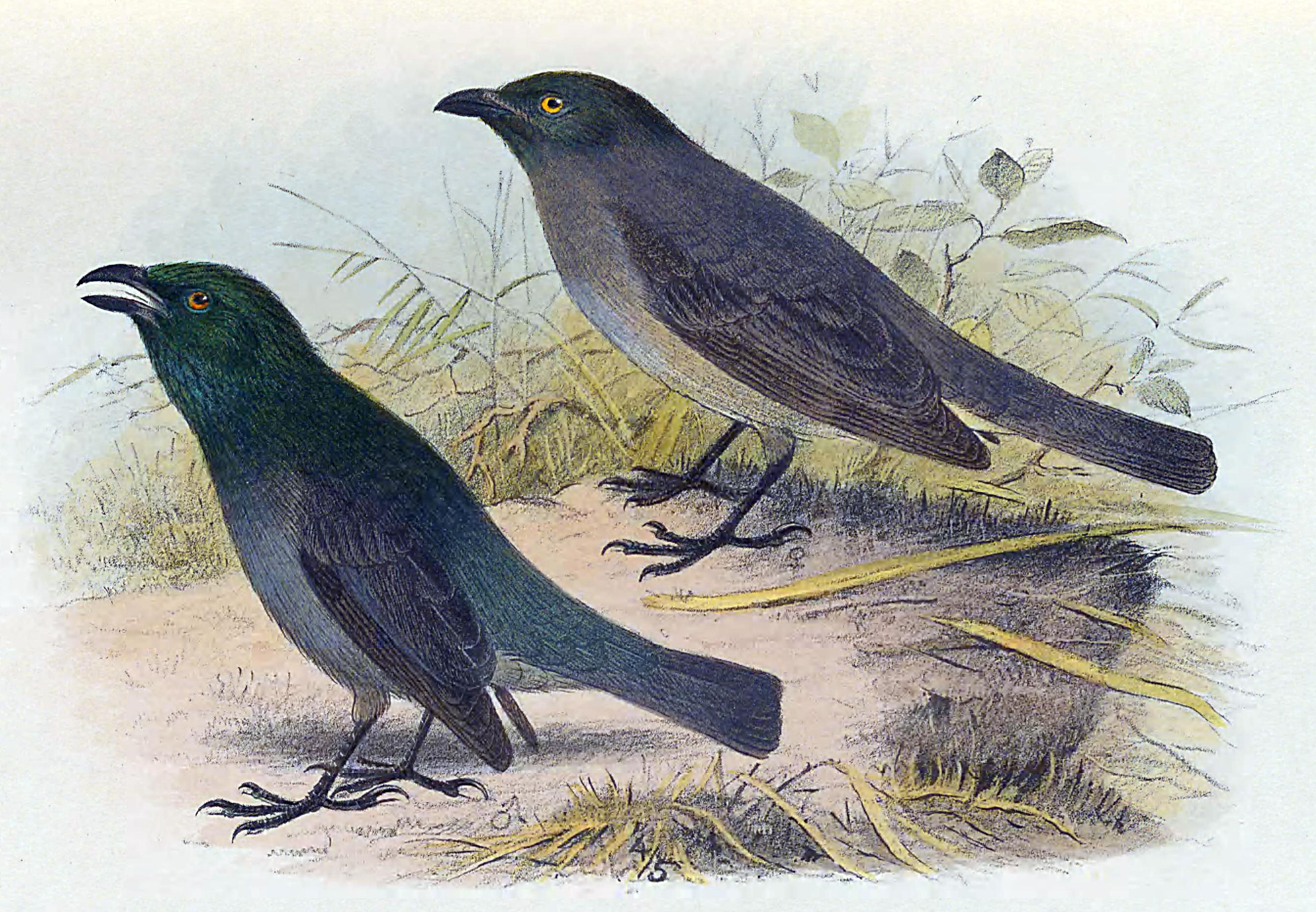 Tasman starling - Wikipedia