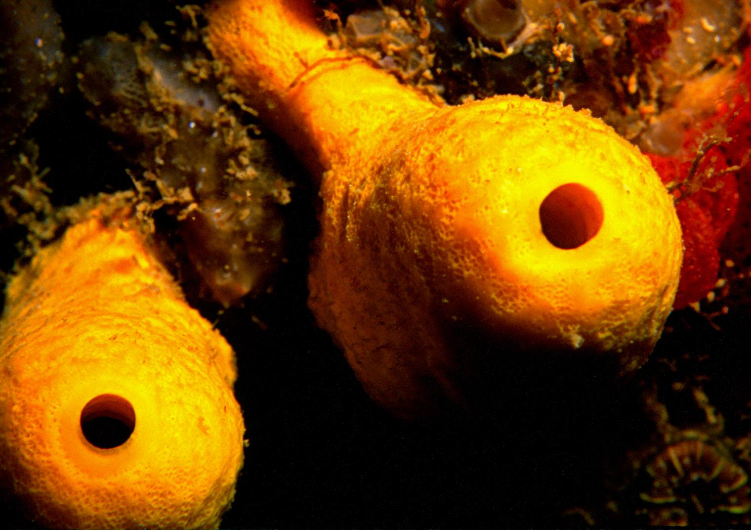 Aplysina cavernicola (Vacelet, 1959) 2