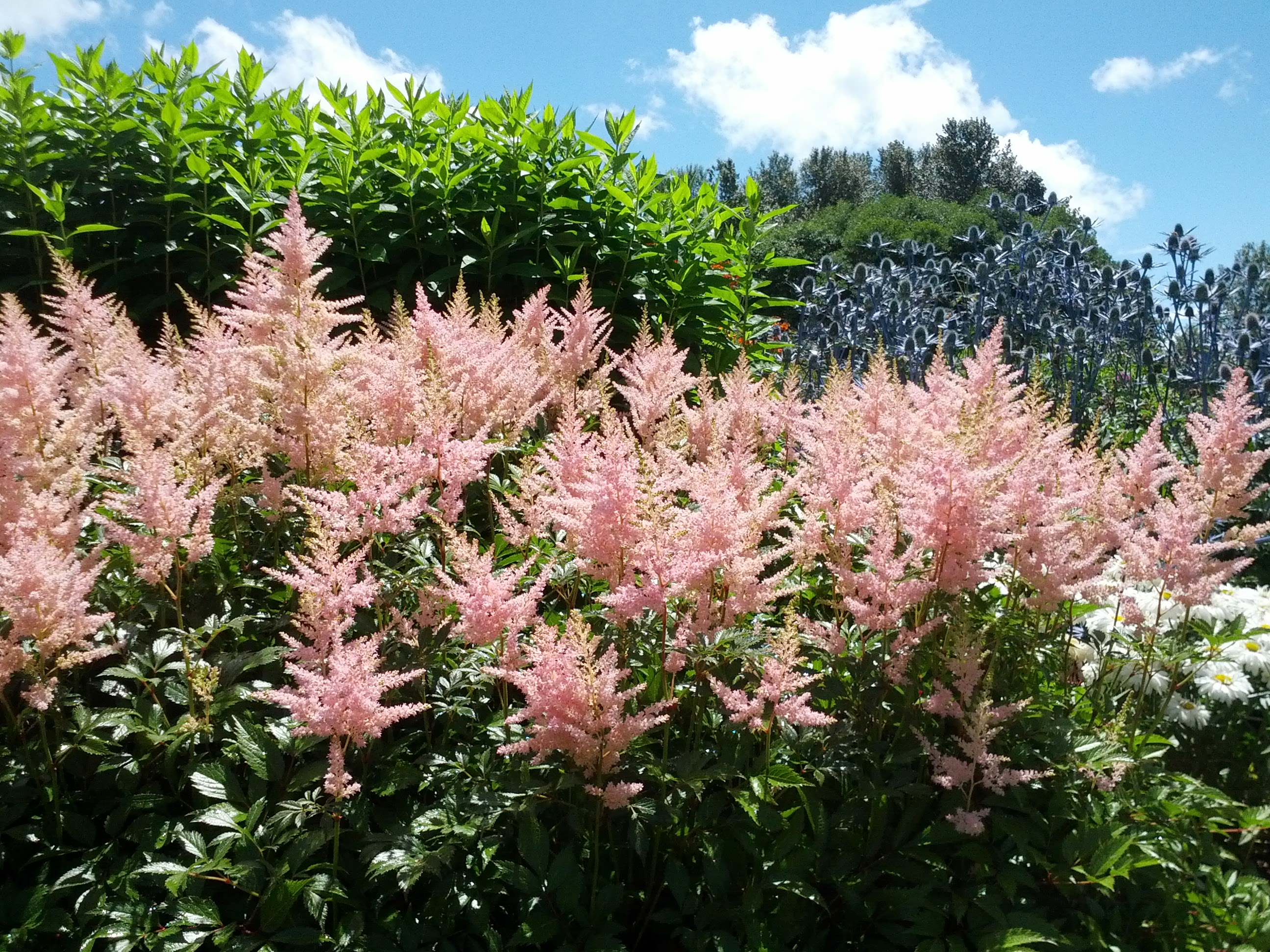 File:Astilbe At University Of Washington Botanical Gardens