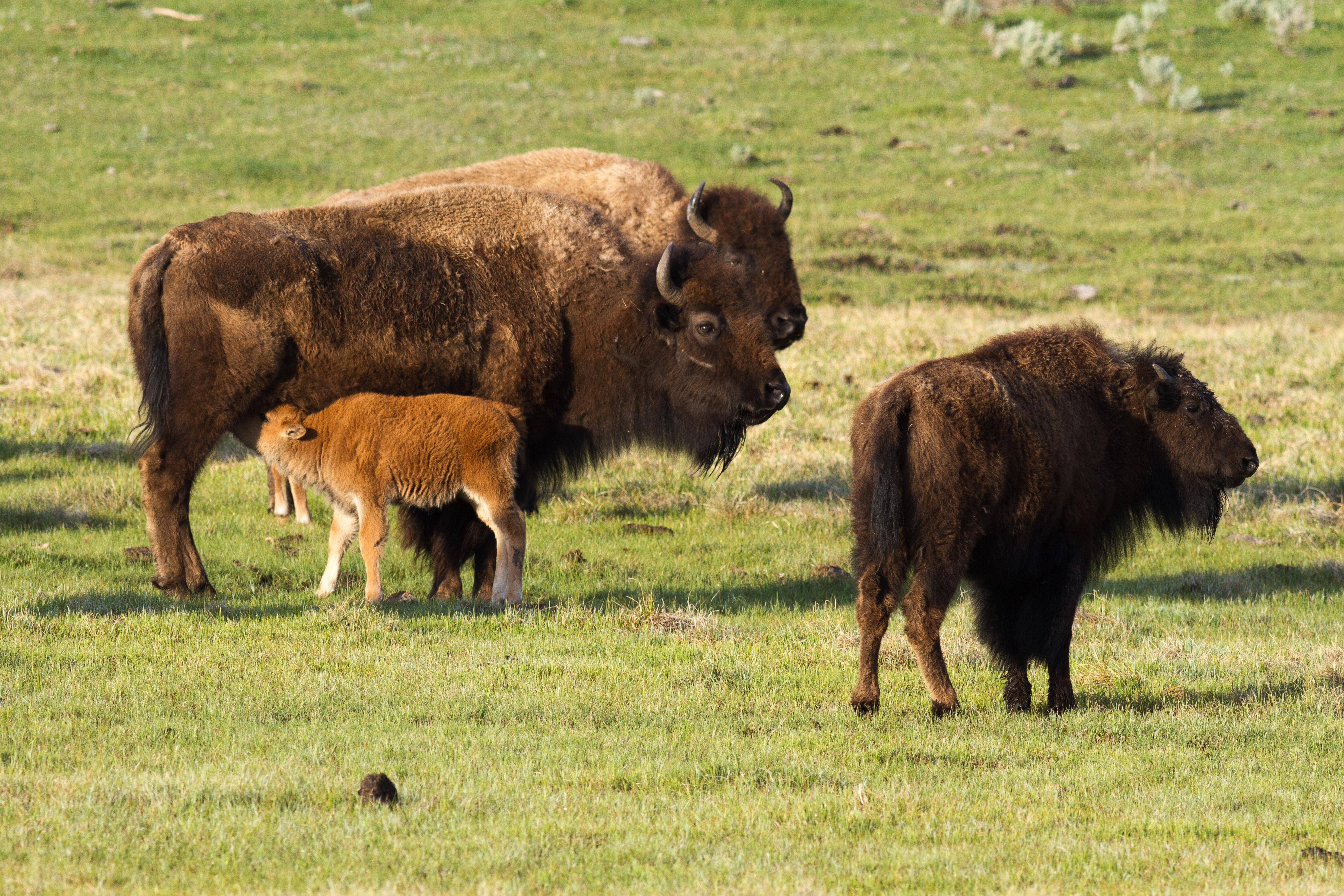 Amerikanischer Bison – Wikipedia 9b887942be