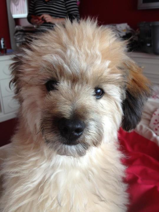 Image Result For Pom Poodle For