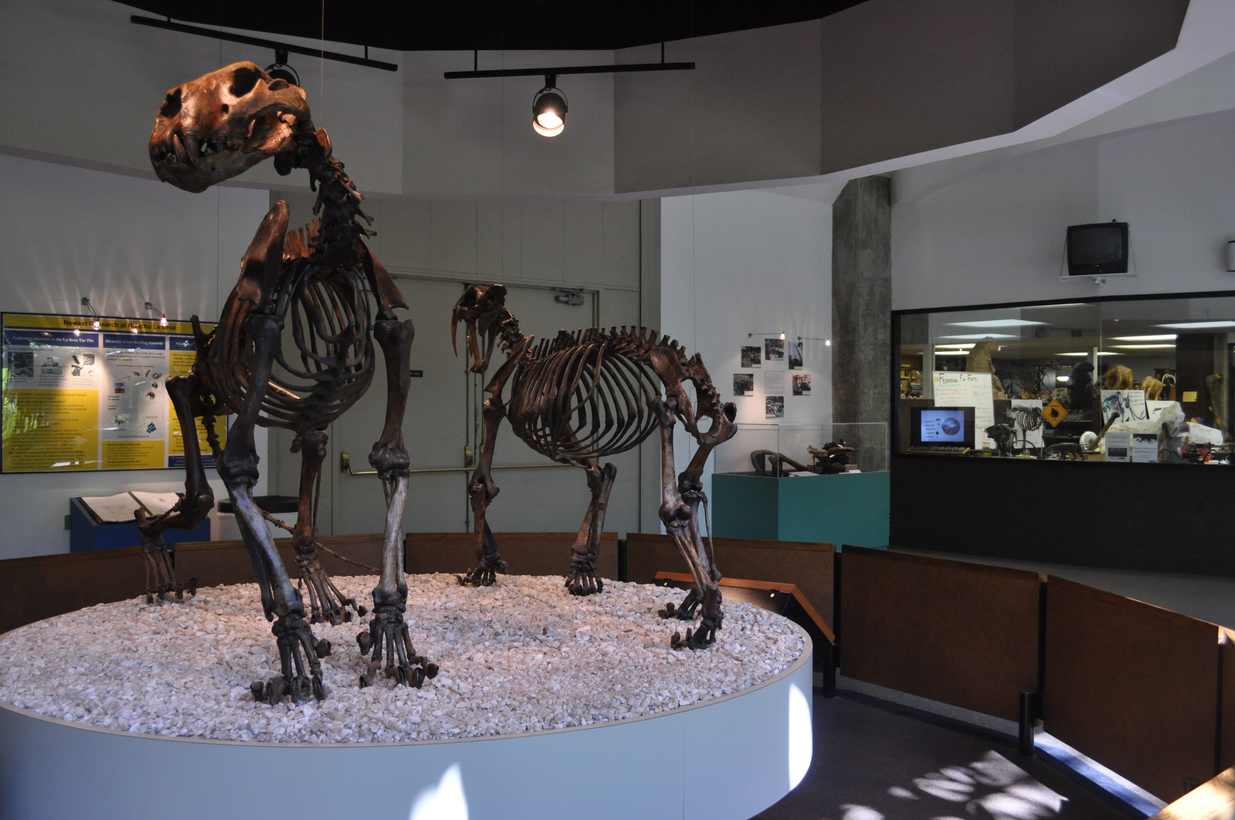 File:California Sabre-tooth & American Lion 02.jpg - Wikimedia Commons