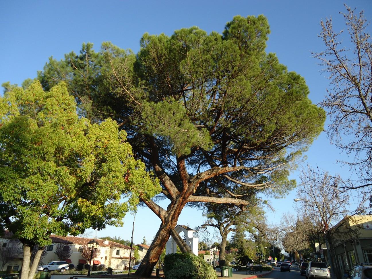 file california tree scene jpg wikimedia commons