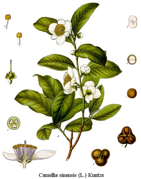 File:Camellia sinensis drawing.jpg - Wikimedia Commons