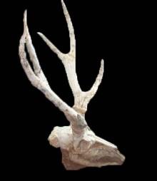 <i>Cervavitus</i> genus of mammals (fossil)