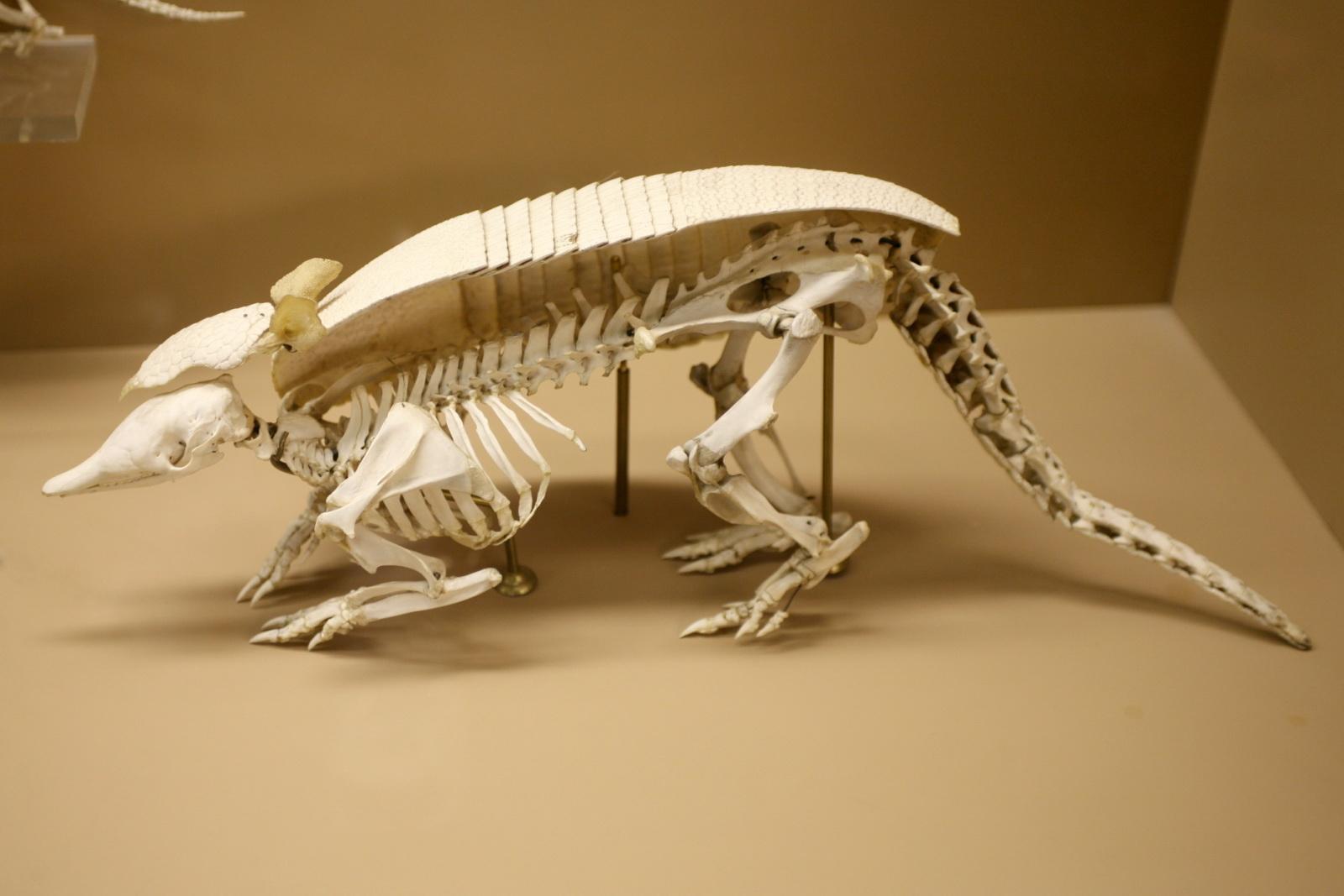 http://upload.wikimedia.org/wikipedia/commons/e/e6/Dasypus_skeleton.jpg