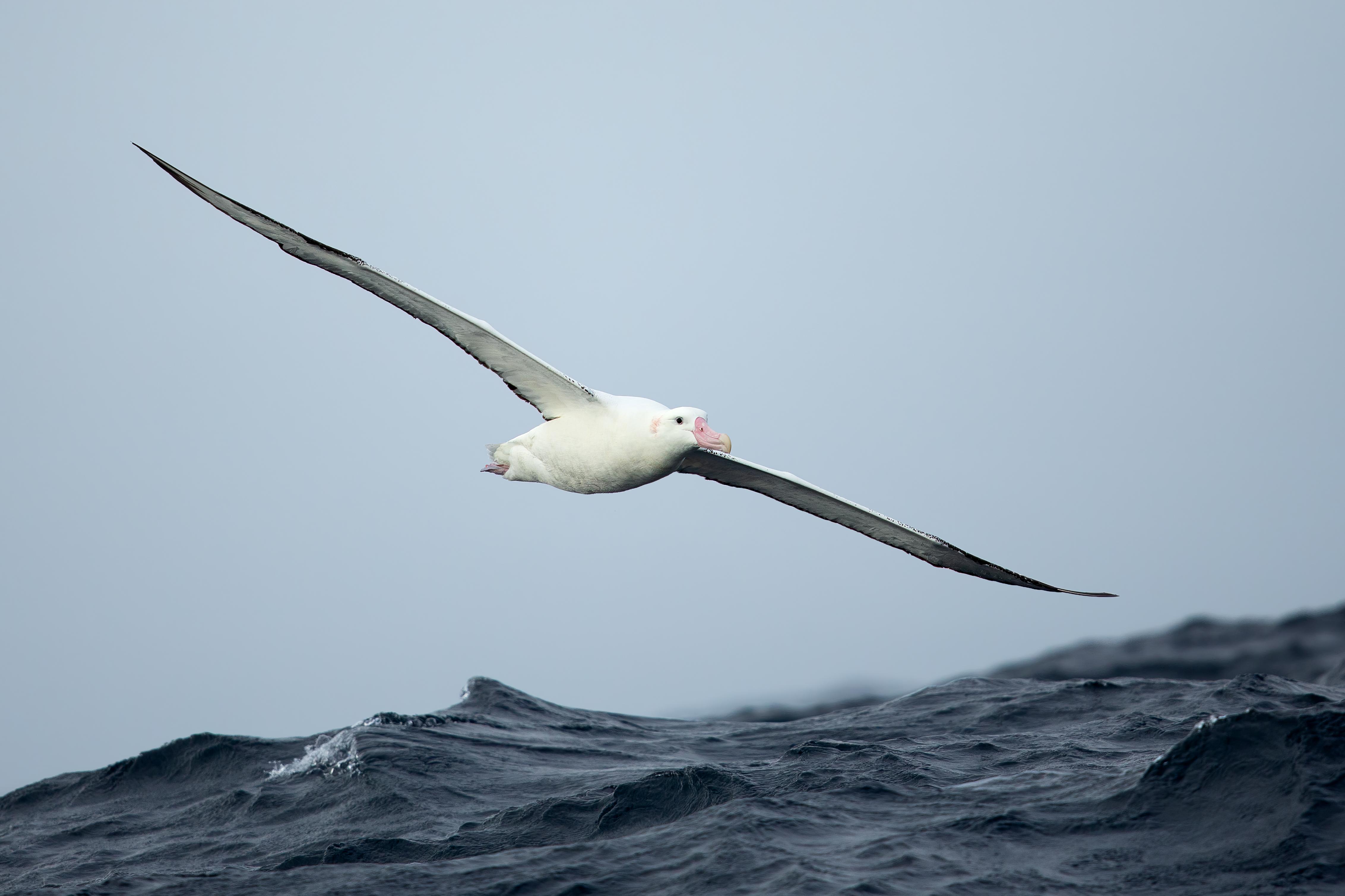 Antipodean albatross - Wikipedia
