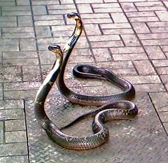 File:Elapidae - Naja kaouthia-001.jpg - Wikimedia CommonsNaja Kaouthia Suphanensis