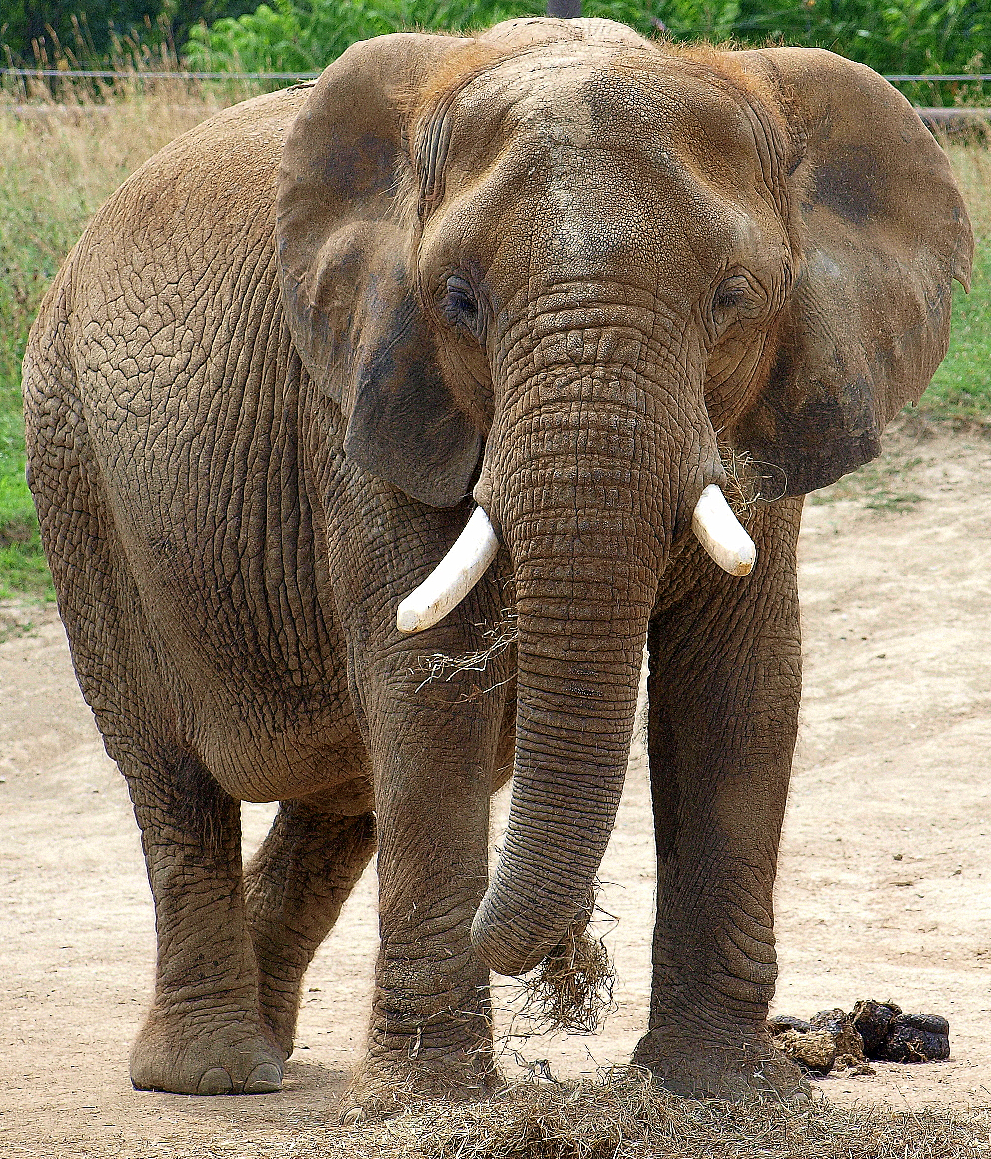 Indianapolis Zoo: File:Elephant At Indianapolis Zoo.jpg