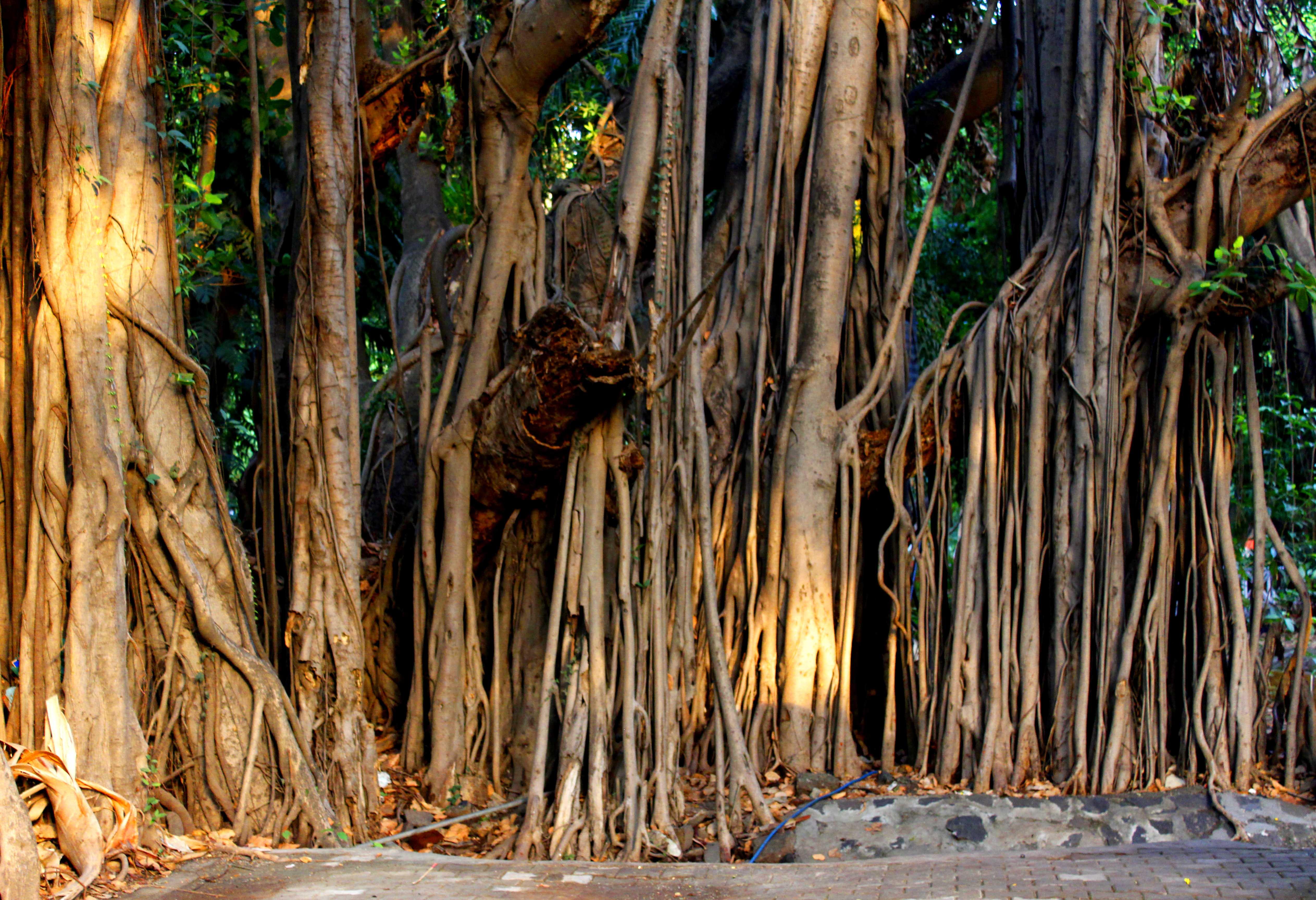 File:Empress Garden Banyan Trees.jpg - Wikimedia Commons