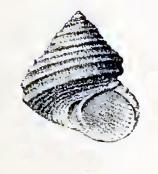 <i>Eurytrochus strangei</i>