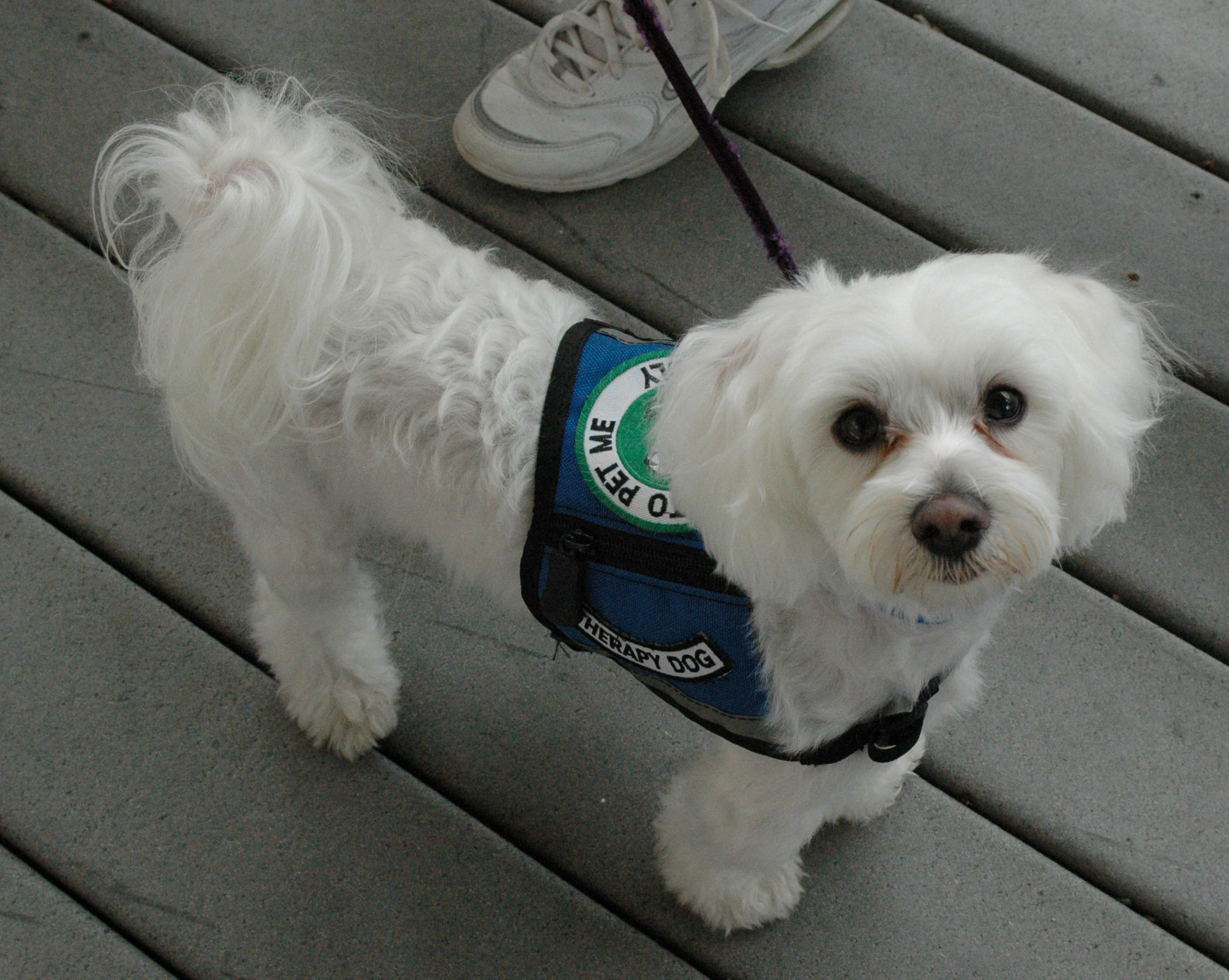 Harry Tawa College Canine Therapy Dog