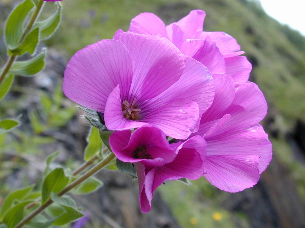 File Flower In Georgia 2 Jpg Wikimedia Commons