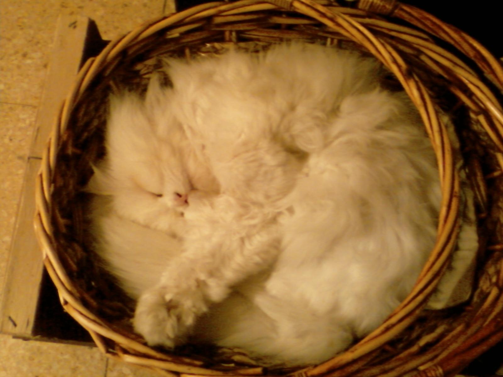 File:Gato Persa.jpg