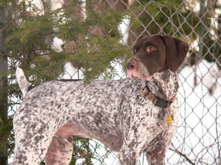 File:German Shorthaired Pointer Remington.jpg - Wikimedia ...