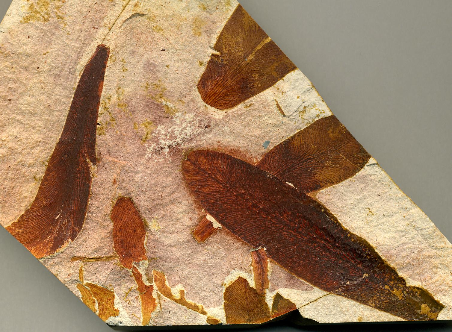 File:Glossopteris fossil seed fern leaves in claystone ...